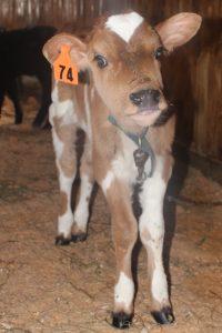 Sawyer calf