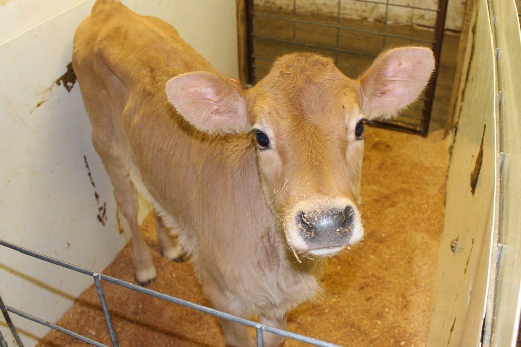 highland jersey calf 3