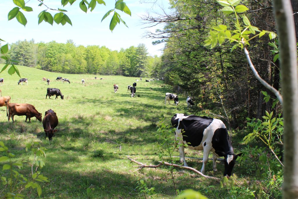 Pastures are well-shaded at Harris Farm in Dayton.