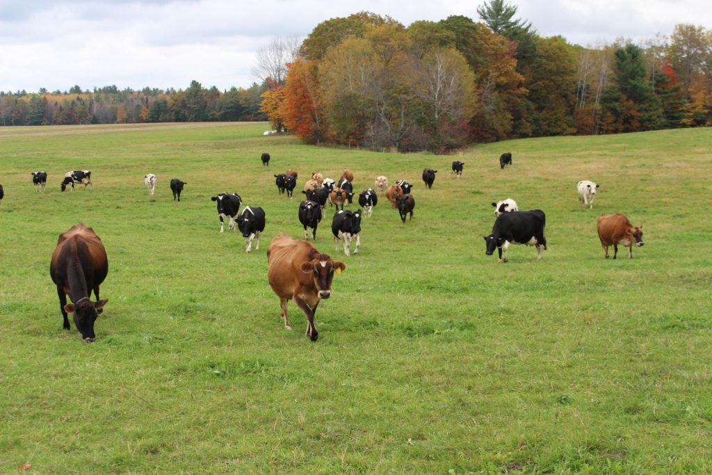 Cows out to pasture at Krebs Organic Dairy Farm in Starks.